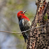 red-breasted-sapsucker-photo-credit-Andrew-Reding_crd
