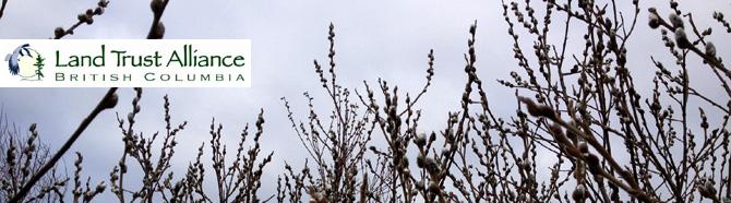 willow buds_mar enews
